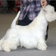 zarina-dei-melograni-west-highland-white-terrier